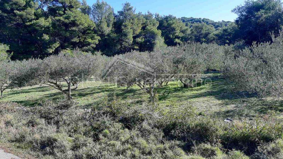 Poljoprivredno zemljište - maslinik: Vis, Marinje zemlje, 7000 m2